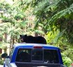 2014 bear on windshield